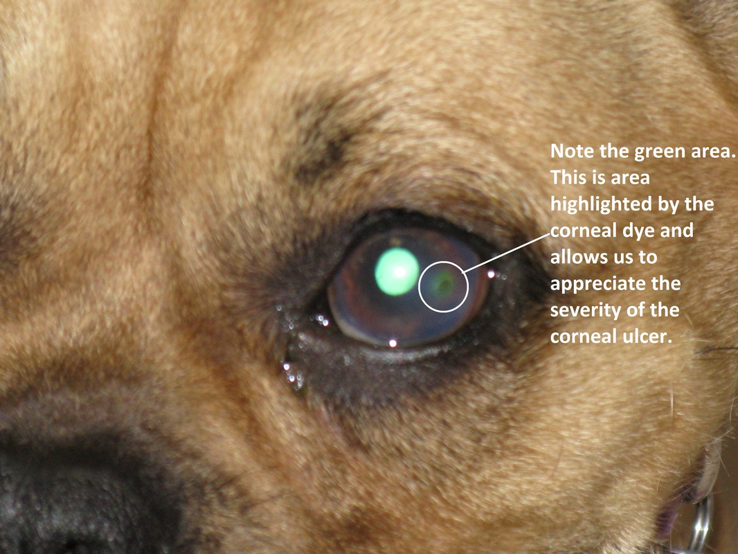 Dog Eye Injury Treatment